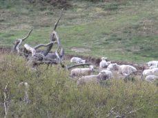 Fuld zoom på fårene