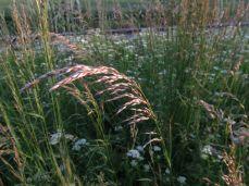 En anden græs, almindelig draphavre (tak Farmer!) flerårig livskraftig - en.Wikipedia: Arrhenatherum elatius, with the common names false oat-grass, tall oat-grass, tall meadow oat, onion couch and tuber oat-grass, [...]