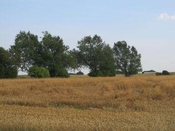 Kl.17 - marken skal høstes (det er det levende hegn set i en lidt anden vinkel end jeg plejer)
