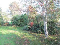 ... og der er mange flere træer, som skal fældes, denne selvsåede røn skal også fældes