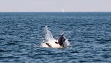 Marsvin - små hvaler! - i Øresund