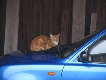 Dette er en invasiv art! Jeg ved ikke hvad jeg skal stille op, enten må jeg finde mig i det eller stille bilen ud i regnvejret!!!