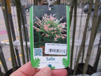 Salix er jo bare et piletræ, ikke?