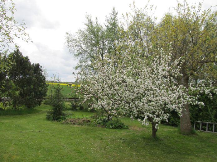 Et æbletræ ved navn Rød Ananas (fra 1800-tallet)