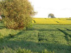 3.Juni: Hveden skrider - akset er dannet og begynder at vokse opad - men man kan endnu ikke se det uden at gå ned mellem planterne, for bladene er stadig over akset og fanger det sene aftensollys