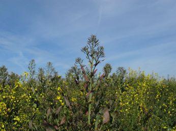 Samme eller lignende plante fremhævet ved at gå ned i synspunkt