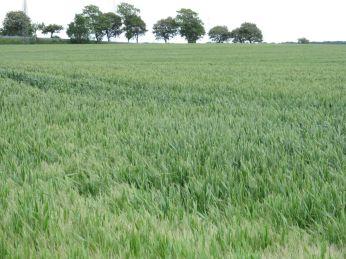Lidt længere inde på marken ses hvedeaksene