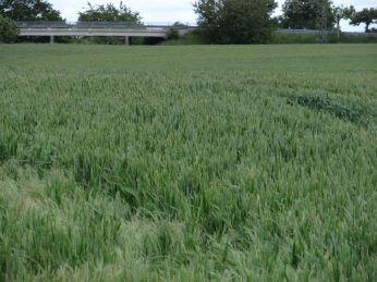 Det ligner den anden mark - men det er to forskellige avlere
