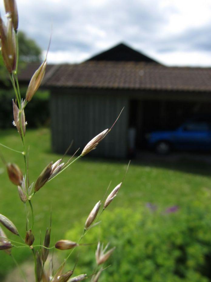 Kan kornene have inspireret vore forfædre til at dyrke græs som føde?