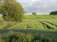19.Juni: Med lidt god vilje kan man se at aks er over blad, tydeligst ved traktorsporet hvor man ser aks mod mørk baggrund; i randen anes (rap)græs
