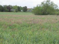 24.Juni: Den anden ende af marken er der mere græs/ukrudt, allerede for 5 dage siden var det meget tydeligt