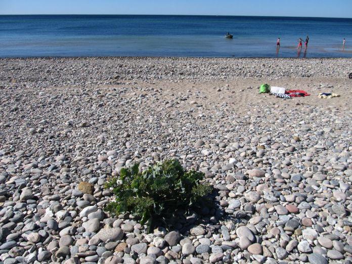Strandkål samme sted som sidste år - på trods af storme og højvande?