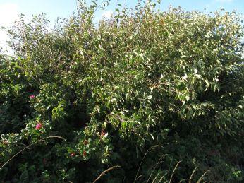 Øverst på skrænten er der flest hybenroser, men - mirakel - her er et æbletræ på kanten
