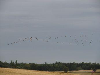 Man kan se at bagtroppen hænger lidt - er det mon de unge fugle, som ikke orker at flyve mere?