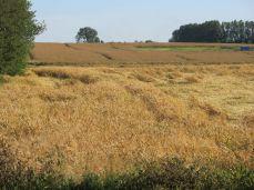 3. August - et kig mere mod vest - mere ind mod midten af marken for at man skal kunne bedømme omfanget