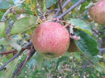 Nogle af Ingrid Marie æblerne er helt fejlfrie
