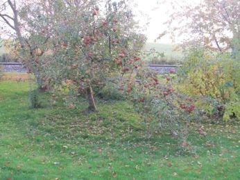 Ingrid Marie - med æbler til mange, mange æblekager