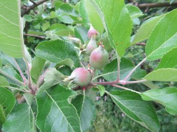 James Grieve - fuld af store æbleansatser