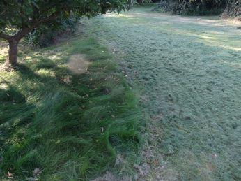 Ved Ingrid-Marie æbletræet kan man se hvor langt græsset er blevet