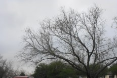 Mesquite in the front yard against a cloudy sky. Storm front moving in.