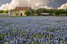 An abandoned stone farmhouse in a dense field of bluebonnets.