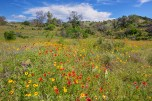 Wildflowers, yuccas, and blue skies make up this Texas Hill Country image taken on a springtime afternoon on a out-of-the-way dirt road. It is landscapes like this that keep me coming back to the hills of this area each spring - hills of all colors with no one around.