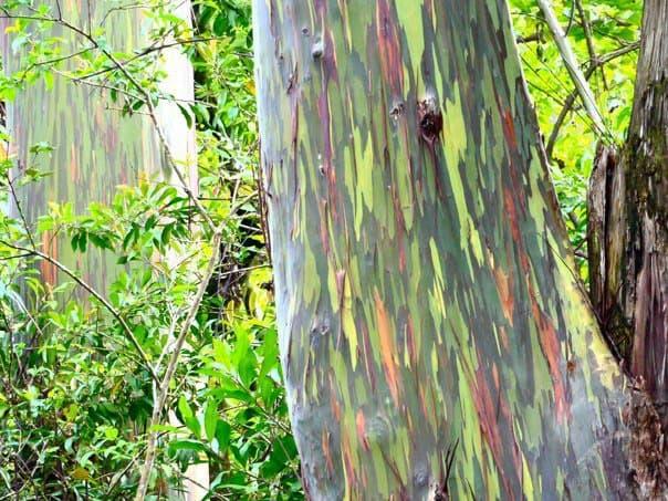 maui-trees
