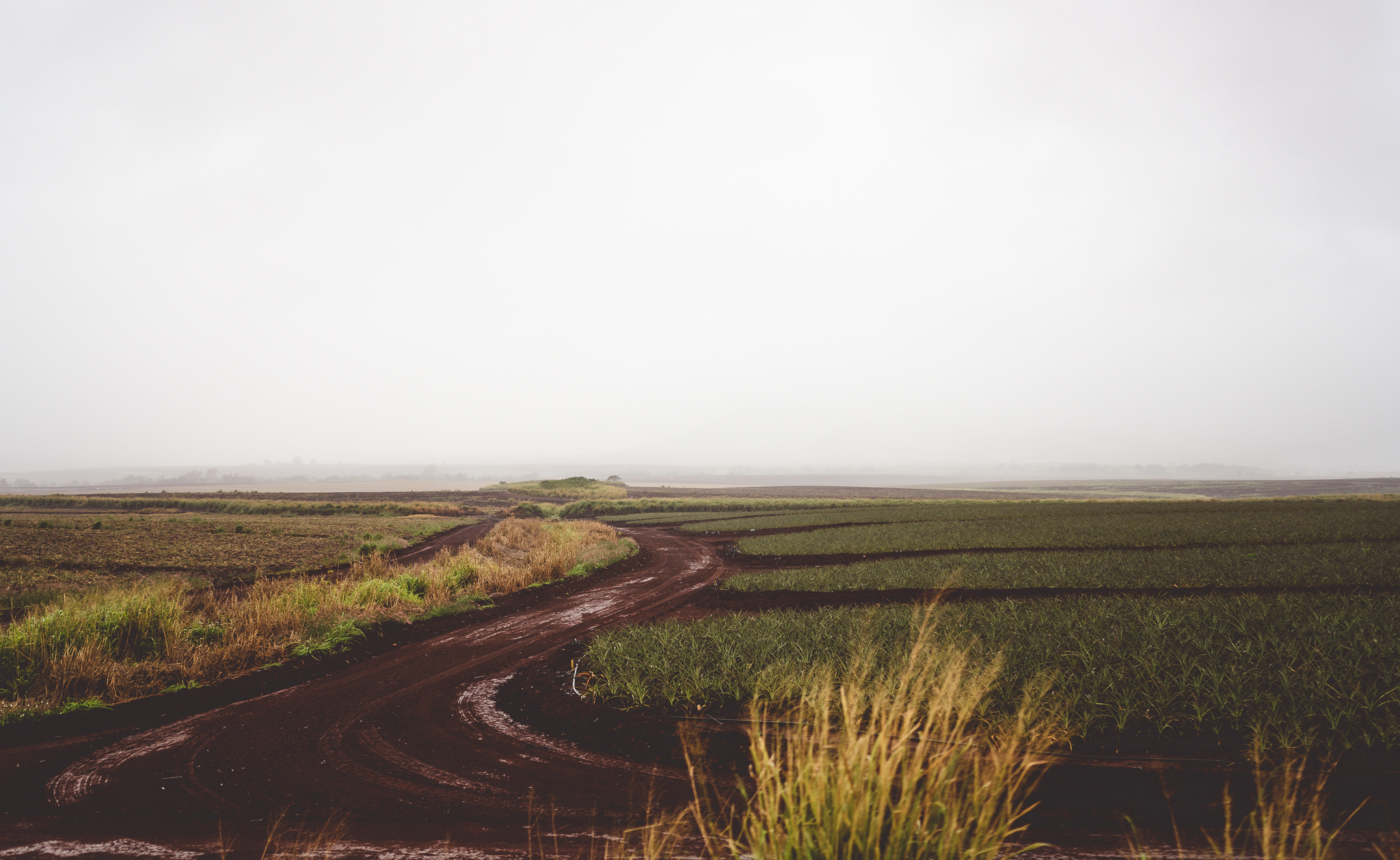 dirt road in a pineapple field on a foggy day
