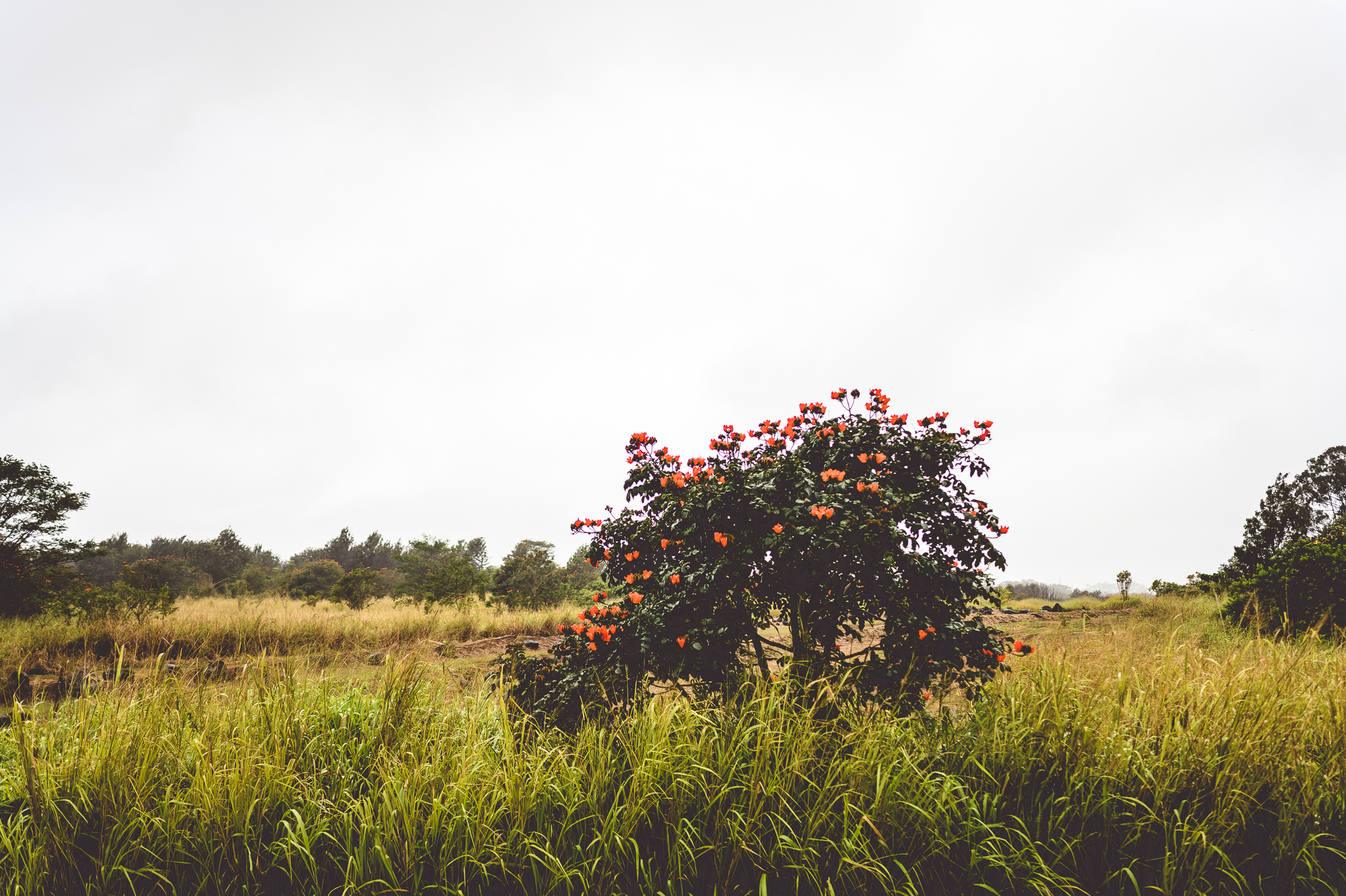 african tulip tree in lone field on a foggy day north shore oahu hawaii