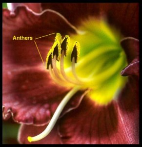 photo of anthers