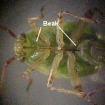 Tarnished Plant Bug Beak