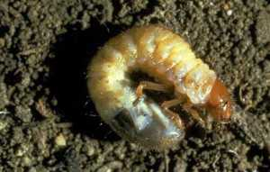 Picture of a white grub