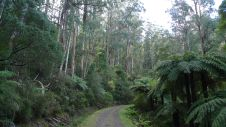 Eucalypts and tree ferns