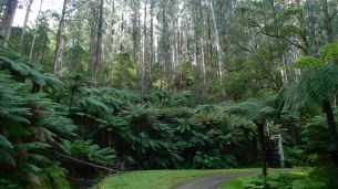 Lots of Mountain Ash and tree ferns