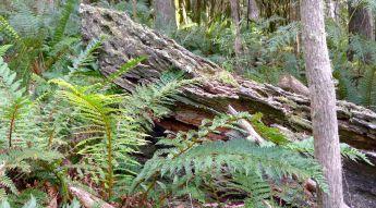 Log and ferns