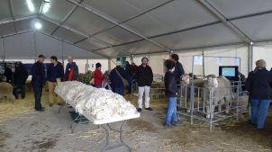 Finally! Real sheep! And fleece!