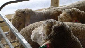 Steaming sheep breath