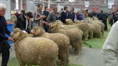 This was a very long line of merino rams