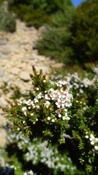 Possibly Alpine Heathmyrtle (Baeckea gunniana)