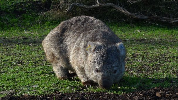 Wombat with earrings