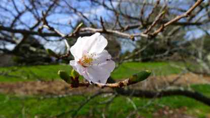 One cherry blossom - a promise of things to come