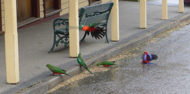 Dinner time for King Parrots & Crimons Rosellas (nice skid landing)