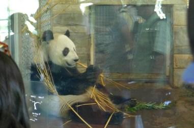 Wang Wang (the male) eating