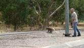 Koala - failed to climb the pole, heading for a tree
