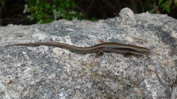 A Southern Water Skink(?) - Eulamprus tympanum