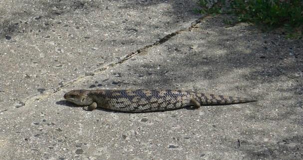 A blue-tongue lizard sunning itself on the path