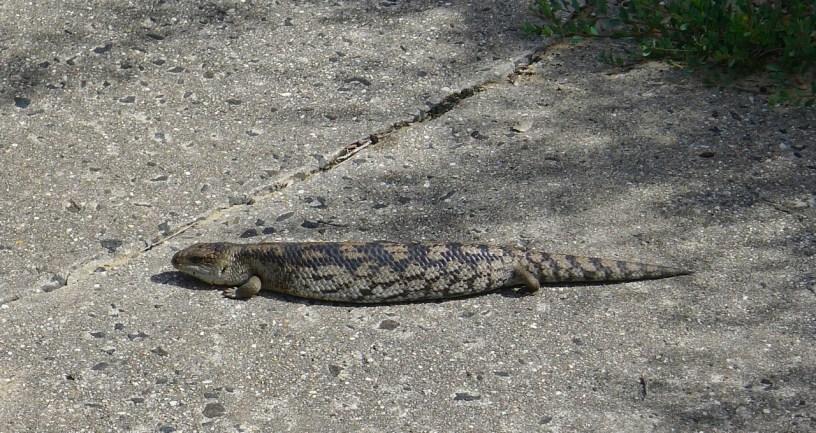 A blue-tongue lizard sunning itself on the path