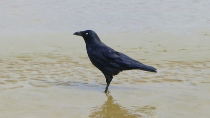 7/12 Not sure if this is an Australian Raven or Little Raven since I didn't catch any of them calling