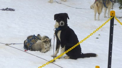 Another floppy-earred sled dog - he wouldn't be here if he wasn't good at pulling though