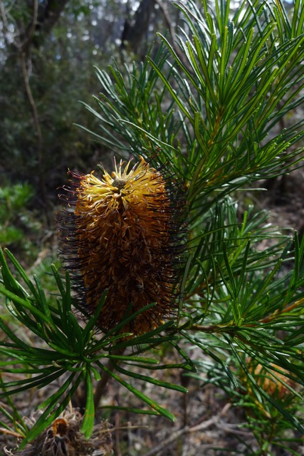 Cunningham's Banksia - needs a lot of time (years) between bushfires to regrow from seed